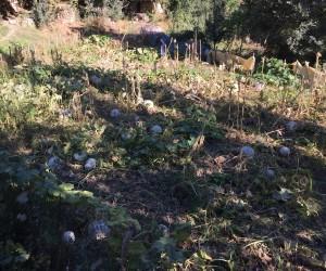 Beytüşşebap'ta kabak hasadı başladı