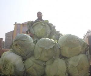 Ağrı'da yerli lahana alıcı bekliyor
