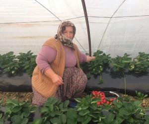 Anamur'da kış mevsiminin ilk çilek hasadı başladı