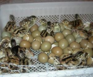 Şuhut Keklik Üretme İstasyonu'nda 10 bin 500 adet keklik üretildi