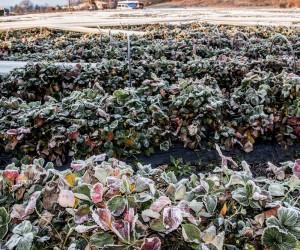 Zirai don olayı tarım arazilerinde etkili oldu