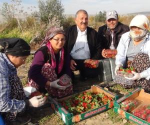 Mersin'de kış ortasında açıkta çilek hasadı