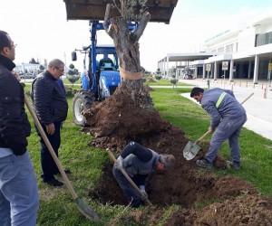 (Özel Haber) 300 yıllık zeytin ağaçları odun olmaktan son anda kurtuldu