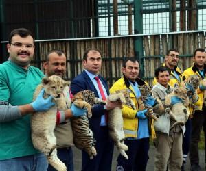 Anadolu Harikalar Diyarı'ndaki Hayvanat Bahçesi'nde dört aslan ve üç kaplan yavrusu dünyaya geldi