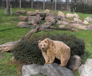 Bursa'daki ayıların kimyası bozuldu