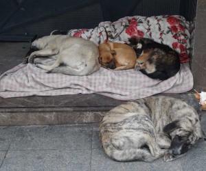 Taksim'de magandalar köpeği bıçaklayıp, kemerle dövdüler