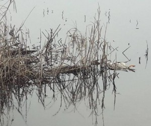 Boğazköy barajında ördek ölümleri iddiası