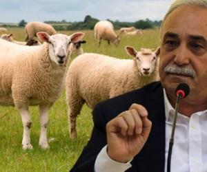 300 koyun herkese verilmeyecek