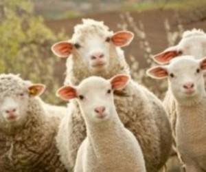 300 koyun bakın nasıl verilecek