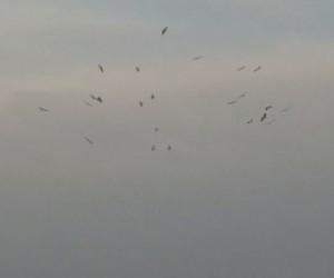 Kış ortasında havadaki leylekler şaşırttı
