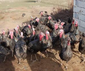 (Özel haber) Bitlis'in ilk hindi çiftliği kuruldu