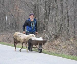 (Özel Haber) Doğum yapan koyun bir an olsun ikiz yavrularının yanından ayrılmadı