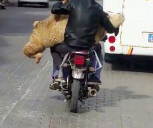 Motosiklette koyun taşıdılar