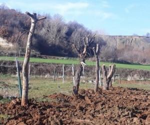 Belediyeden ağaç katliamı iddialarına cevap