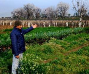 Sarıgöl'de 'Yalancı Bahar' çiftçileri endişelendiriyor