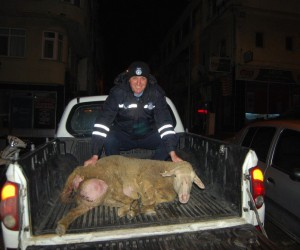 Şehre inen koyun zabıtayı peşine taktı