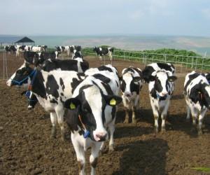 Süt üretimi Kula'nın yeni lokomotifi
