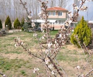 Meyve ağaçları yalancı bahara aldandı