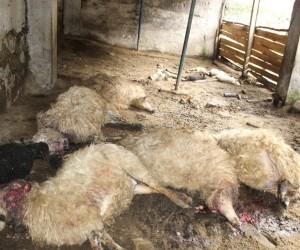 İkizdere'de ahıra giren kurt 57 koyunu telef etti