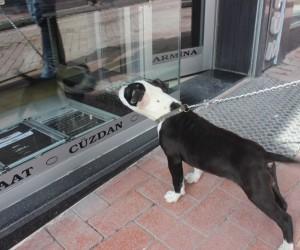 Kendini vitrin camında gören köpeğin öfkesi