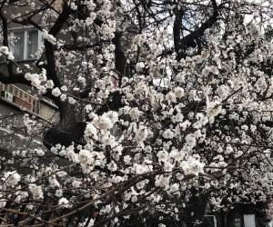 Şehir merkezinde ağaçlar çiçek açtı