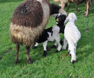 Muş'ta koyun ve kuzuların buluşması renkli görüntülere sahne oldu