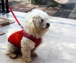 Minik terrier cinsi köpeğin sahibi aranıyor