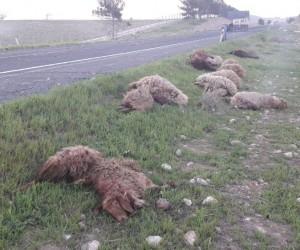 Otomobil koyunları ezdi