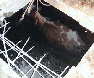 Foseptik çukuruna düşen hamile inek, 4 saatte kurtarıldı