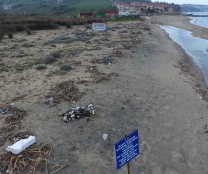 Sinop'ta yüzlerce yelkovan kuşu telef oldu