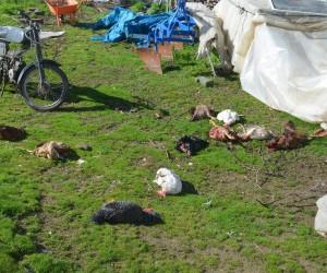 Sokak köpekleri, kümes hayvanlarını telef etti