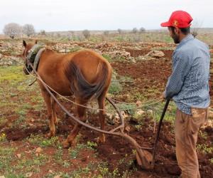 Mazot fiyatları artınca tarlaların yükü hayvanlara kaldı
