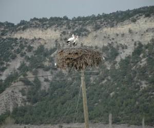 Baharın müjdeleyicisi leylekler, Hanönü'deki yuvalarına dönmeye başladı
