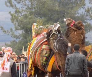 Sezonun son deve güreşinde Afrin Harekatı unutulmadı, develer zeytin dalıya güreşti