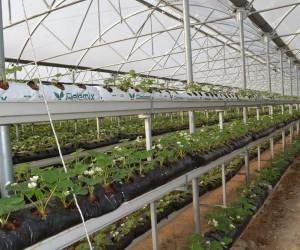 İnegöl'de topraksız çilek üretiyor