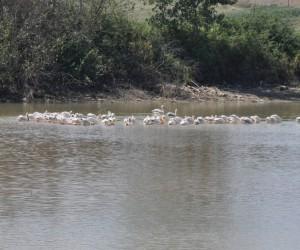 Pelikanlar İnegöl'de mola verdiler
