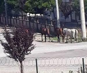 Başıboş atlar tehlikeye saçmaya devam ediyor