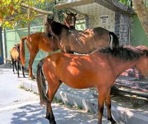 (Özel haber)  Aç kalan atlar şehri altüst etti