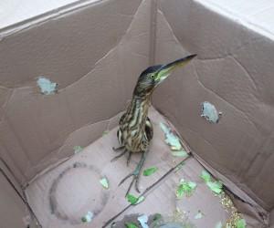 Konya'da otomobilinin kaportasında Hint Gölet Balıkçıl kuş bulundu