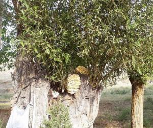 Asırlık söğüt ağaçlarında mantar